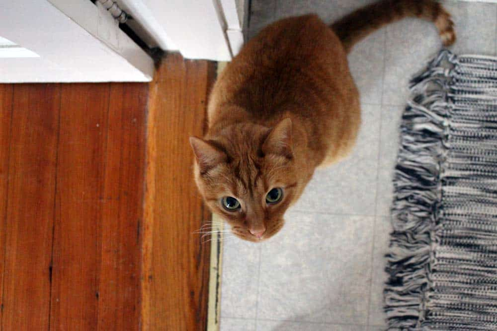 Bird's eye view of orange tabby cat looking up at the camera.