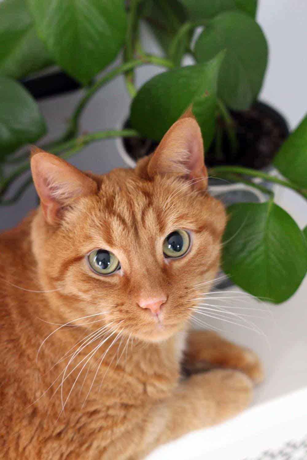 Orange tabby cat looking at the camera, with leafy green plant in the background.