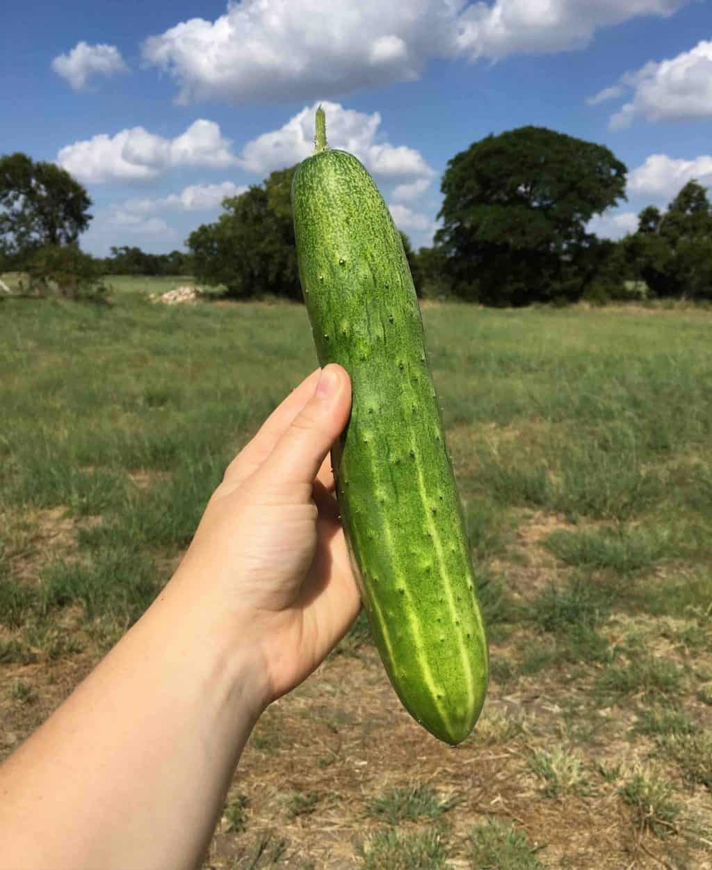 Homegrown Cucumber copy