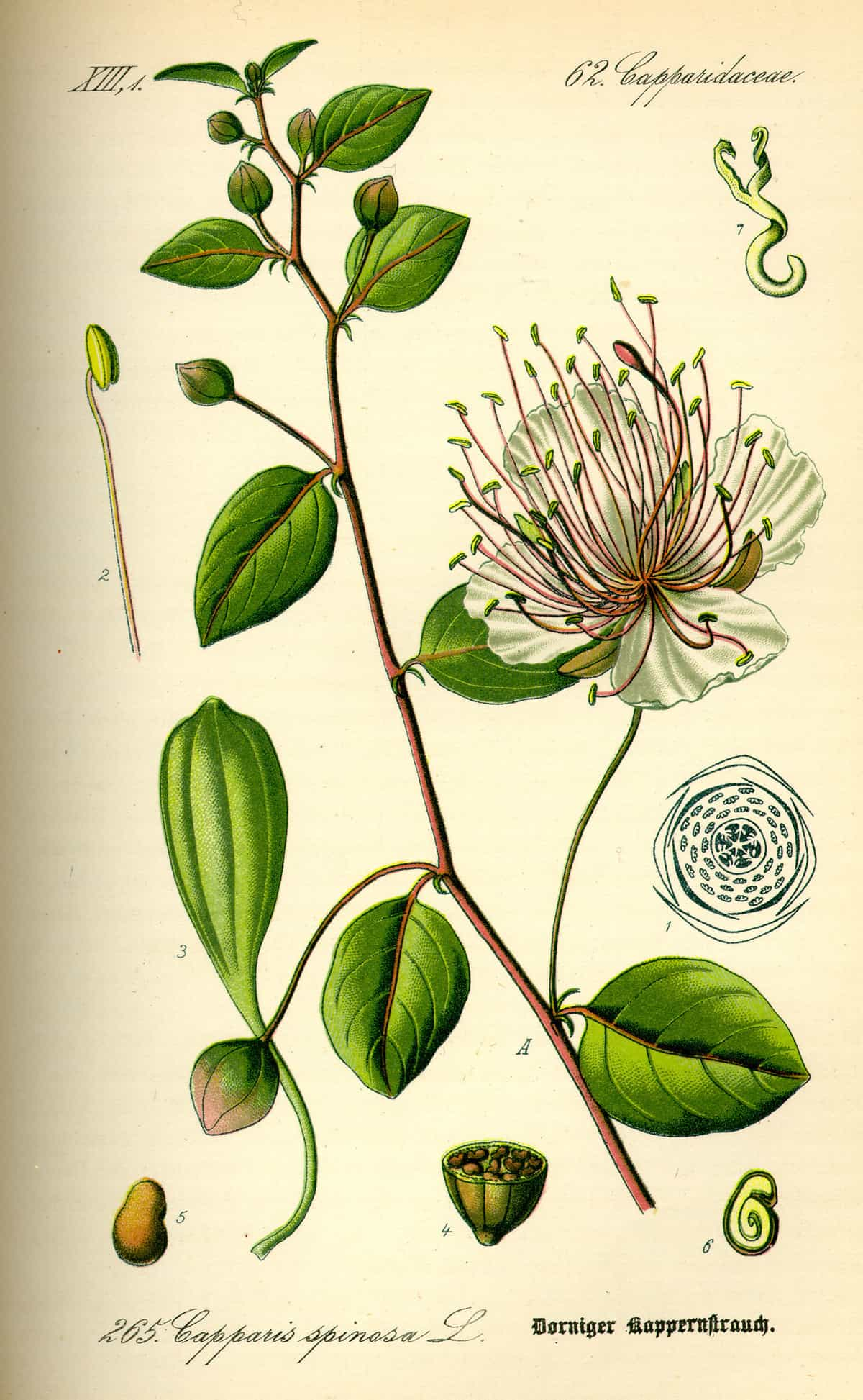 An illustration of the caper bush or Capparis spinosa.